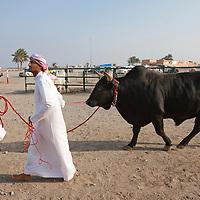 United Arab Emirates, Dubai, Animal handlers lead massive bull toward ring at traditional Arab bullfights in city of Fujairah