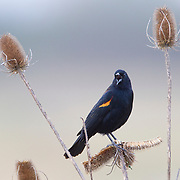 A red-winged blackbird (Agelaius phoeniceus) sings from its perch in the Ridgefield National Wildlife Refuge in Washington state.