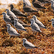 Assorted sand pipers, snipes, and shore birds on Sargasso