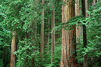 Old Growth Forest, Mt. Baker National Forest, Trees.Old Growth Forest..Washington's Cascade Mountains.Brett Baunton