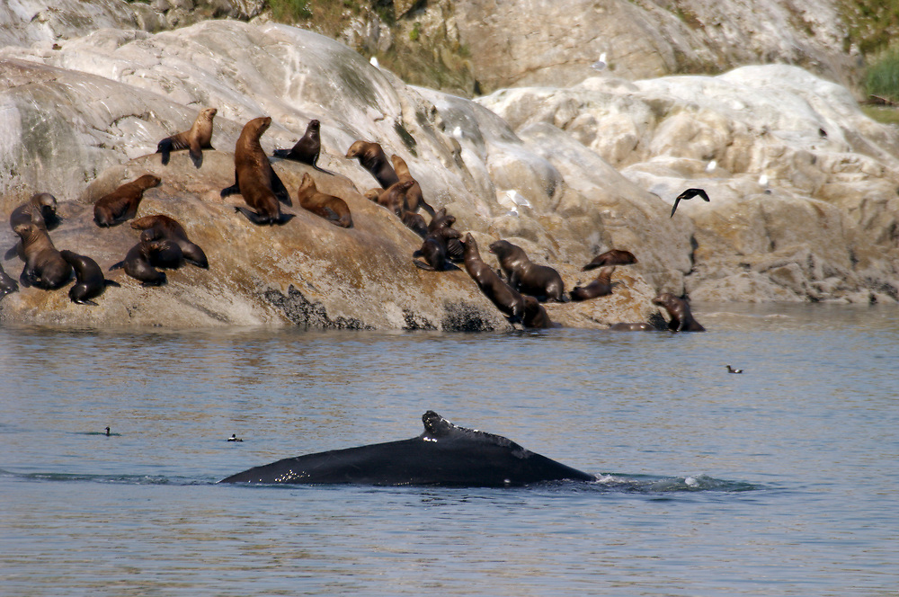 A rare shot of a humpback whale (Megaptera novaeangliae) and Steller sea lions (Eumetopias jubatus) in the same frame. Here you can see the dorsal fin of the whale in the foreground with the sea lions in the background