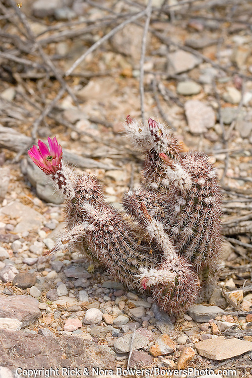 Chisos Mountain Hedgehog.Echinocereus chisosensis.Big Bend National Park, Texas, United States.14 April          Flower         Cactaceae