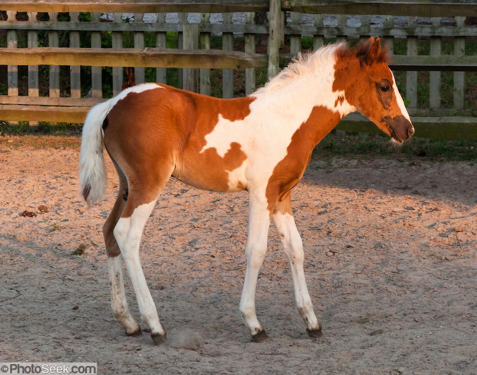 Chincoteague Pony In Corral Chincoteague Island Virginia