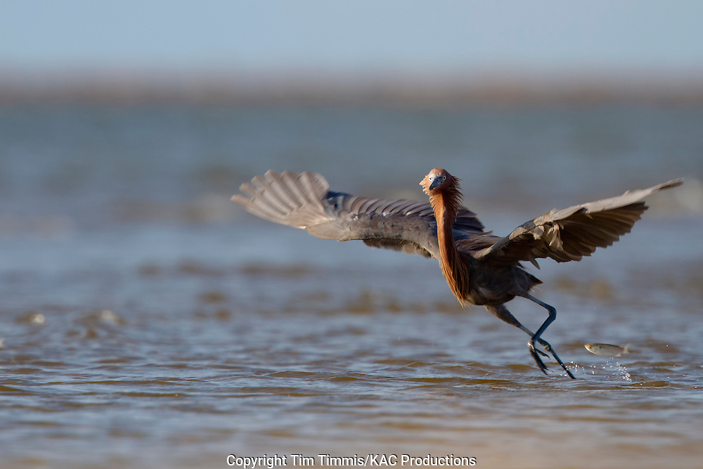 Reddish Egret, Egretta rufescens, Bolivar Flats, Texas gulf coast, fishing with wings extended, running after a fish, racing a fish