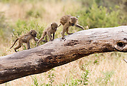 Follow the leader, juvenile baboons, Tarangire National Park, Tanzania