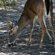 Jekyll Island whitetail buck grazing on sand path under palms