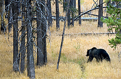 NEWS&GUIDE PHOTO / PRICE CHAMBERS.A grizzly bear in Yellowstone National Park heads for the hills as he hunts for new sources of food on Sept. 22. The Wilderness Expeditions trip saw three grizzly bears during the trip.