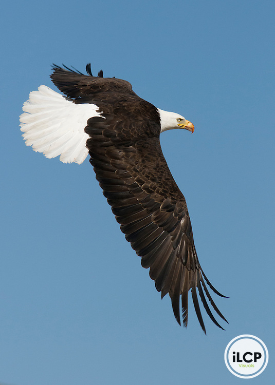 A bald eagle (Haliaeetus leucocephalus) extends its wings in flight.
