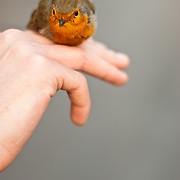 A robin balancing on a hand, after having been rung, and prior to release.