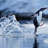 Antarctica, Gentoo Penguin (Pygoscelis papua) leaping from water on rocky shoreline near Port Lockroy on Wiencke Island