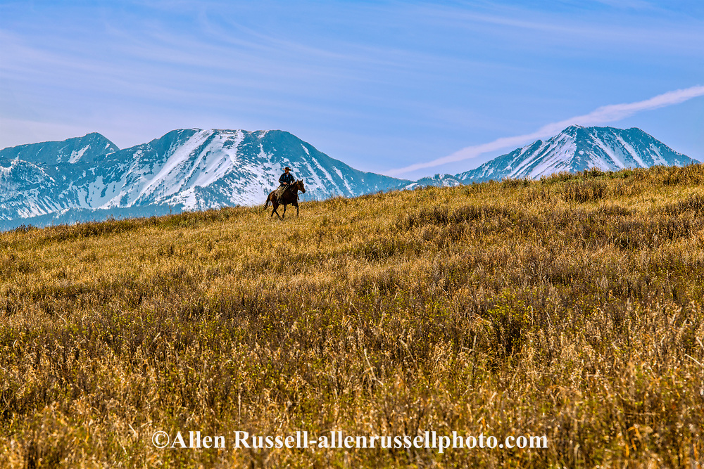 Cowboys, gathering cattle, branding, Lazy SR Ranch, Wilsall, Montana, Dusty Holland, MODEL RELEASED, PROPERTY RELEASED