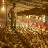 A Virginia chicken farmer checks on the health of his flock at a farm in Suffolk.