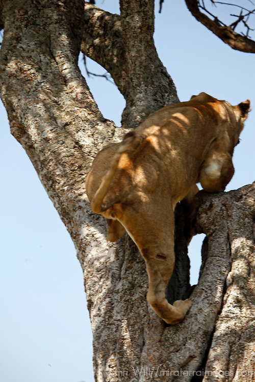 Africa, Kenya, Maasai Mara. A female lion jumps up a trunk into a tree.