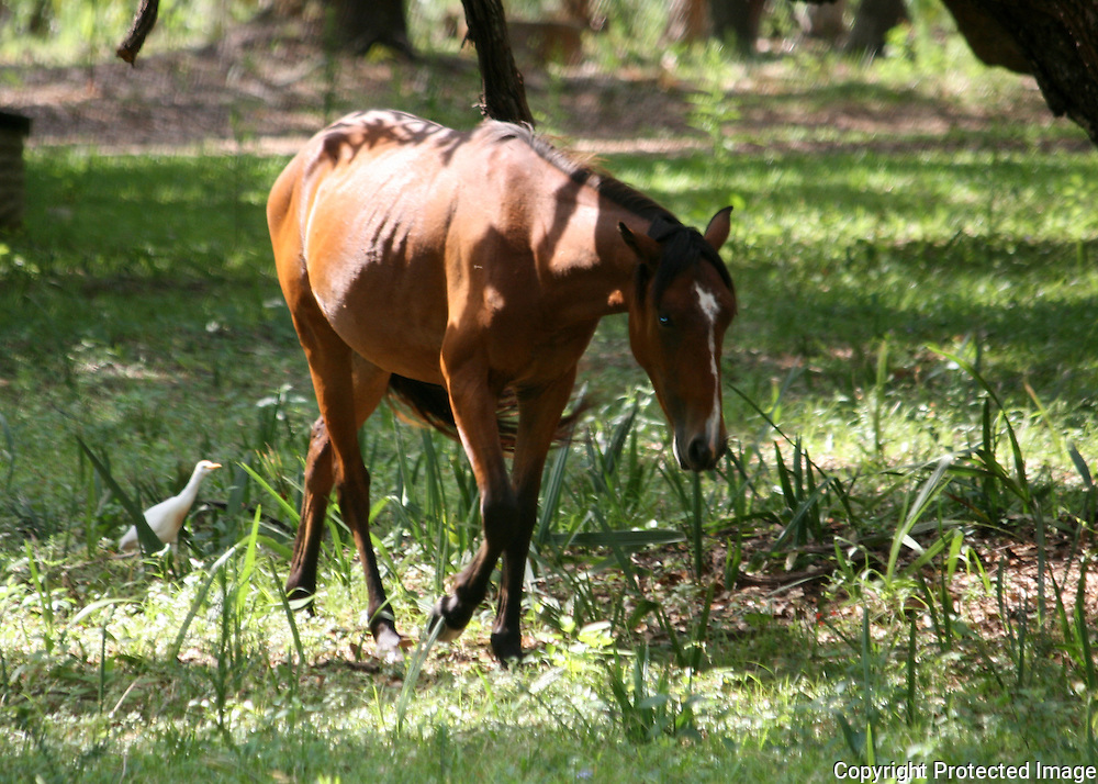 A wild horse on Cumberland Island with a cowbird following it, picking off bugs it stirs up.