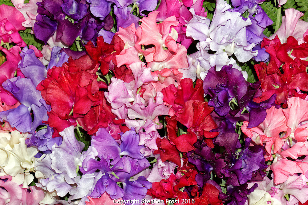 A display of colourful sweet peas, variety: mixed spencer.