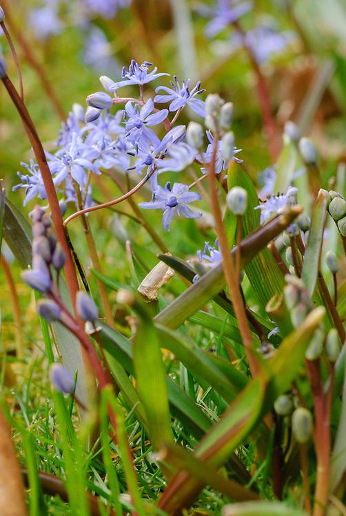 Vroege sterhyacint, Scilla bifolia