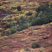 Moose, Alces alces, Gates of the Arctic National Park, Alaska, USA
