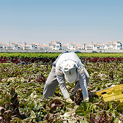 Murcia, Spain. From a story on the explosion of controversial golf resorts in Spain's arid south-east. These walled developments are often built on former farming land when farmers sell their land to the big developers. Most of these new houses are sold to foreign buyers as holiday homes..Photo shows vegetable pickers from Morocco near the Polaris World La Torre Golf Resort which is under construction in Murcia, Spain..Photo©Steve Forrest/Amaya Roman