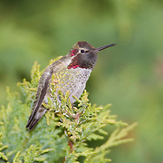A young male Anna's hummingbird (Calypte anna) rests on a branch near a marsh in Edmonds, Washington. This bird, photographed in December, is showing its winter plumage. Hummingbirds are the smallest of all birds, weighing less than 0.3 ounces. They also have iridescent plumage, which magnifies certain wavelengths of light. The iridescence comes from the fact that their feathers do not lie flat, but rather have a V-shaped trough running along each barb. Their feathers are also covered with microscopic discs filled with tiny air bubbles.