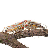 Oak Treehoppers (Platycotis vittata)
