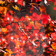 The red and golden fall color of a maple tree provides an autumn backdrop for a spider web in Snohomish County, Washington.