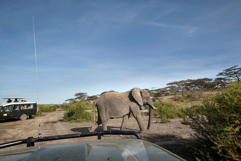 Tanzania, Ngorongoro Conservation Area, Ndutu Plains, Elephant (Loxodonta africana) walks between safari trucks