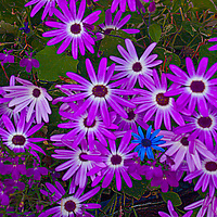Purple Daisies with  a blue one poking through.
