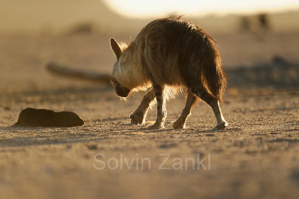 Brown hyena (Parahyaena brunnea oder Hyaena brunnea), Tsau-ǁKhaeb-(Sperrgebiet)-Nationalpark, Namibia | Schabrackenhyäne (Parahyaena brunnea oder Hyaena brunnea) erbeutet eine junge Kap-Pelzrobbe (Arctocephalus pusillus pusillus), Sperrgebiet National Park, Namibia