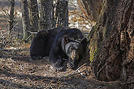 After months of hibernation, black bears emerge from their dens in early Spring. This male bear spent most of the morning feeding on early greening vegetation before deciding to nap in a glade of pines.