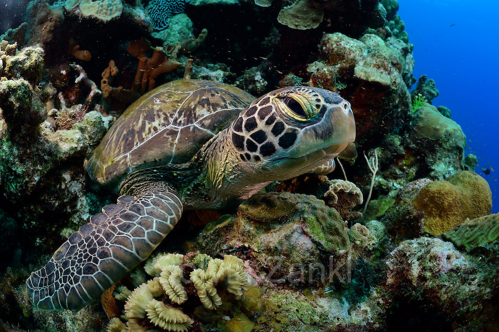 Sleeping or resting Green sea turtle (Chelonia mydas) Atlantic, Bonaire, Leeward Antilles, Caribbean region, Netherlands Antilles   Ruhende oder schlafende Grüne Meeresschildkröte (Chelonia mydas) an ihrem Ruheplatz. Sie kehren zum Schlafen oft an die gleichen Stellen zurück. Manche Bereiche im Riff sind dadurch regelrecht freigescheuert.