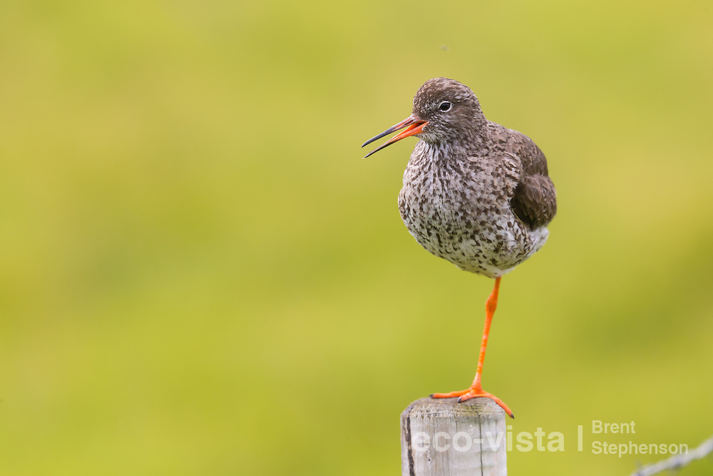 Adult common redshank (Tringa totanus) perched on top of a fence post and calling. This bird had a chick nearby and was keeping a lookout in order to protect it. Flatey, West Fjords, Iceland. July.