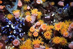 Coral duro na indonesia, ocorrendo tambem na australia e mar vermelho./Stony coral in Indonesia, occurring in Australia and Red Sea..Corais ou antozoarios sao animais cnidarios e uma das maravilhas do mundo submarino. Os corais constituem colonias coloridas e de formas espantosas que crescem nos mares e podem formar recifes de grandes dimensoes que albergam um ecossistema com uma biodiversidade e produtividade extraordinarias./Corals are marine animals of the class Anthozoa, which also includes the sea anemones (order Actiniaria)..Corals are gastrovascular marine cnidarians (phylum Cnidaria) and exist as small sea anemone-like polyps, typically in colonies of many individuals. The group includes the important reef builders known as hermatypic corals, found in tropical oceans, and belonging to the subclass Zoantharia of order Scleractinia. The latter are also known as stony corals since the living tissue thinly covers a skeleton composed of calcium carbonate..Foto: Christiana Carvalho/Argosfoto