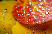 """SHOT 9/23/14 2:15:36 PM - Rain drops form on fallen aspen leaves that have changed colors near Rollinsville, Co. in the Arapaho National Forest. Aspens are trees of the willow family and comprise a section of the poplar genus, Populus sect. Populus. The Quaking Aspen of North America is known for its leaves turning spectacular tints of red and yellow in the autumn of the year (and usually in the early autumn at the altitudes where it lives). This causes forests of aspen trees to be noted tourist attractions for viewing them in the fall. These aspens are found as far south as the San Bernardino Mountains of Southern California, though they are most famous for growing in Colorado. Autumn leaf color is a phenomenon that affects the normally green leaves of many deciduous trees and shrubs by which they take on, during a few weeks in the autumn months, one or many colors that range from red to yellow. The phenomenon is commonly called fall colors and autumn colors, while the expression fall foliage usually connotes the viewing of a tree or forest whose leaves have undergone the change. In some areas in the United States """"leaf peeping"""" tourism between the beginning of color changes and the onset of leaf fall, or scheduled in hope of coinciding with that period, is a major contribution to economic activity. (Photo by Marc Piscotty / © 2014)"""