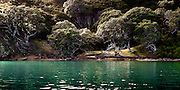 Kawau Island.  Emerald sea, golden grass, and gnarled Pohutukawa trees.