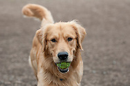 This Golden Retriever was playing with his tennis ball at the dog park in MD.