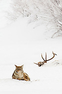 A coyote pauses near an old elk carcass in Yellowstone's Lamar Valley. It's during the long, unforgiving winter that the harshness of life in Yellowstone is fully realized.