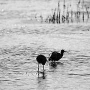 Glossy Ibis in Chincoteague National Wildlife Refuge, I love how you can see the water dropping from the birds beak as they were feeding