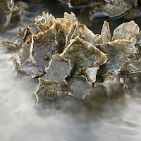 New Oyster Growth (Crassostrea virginica) on Oyster Castles, Five Months After installation, Jeremy Island, South Carolina, USA