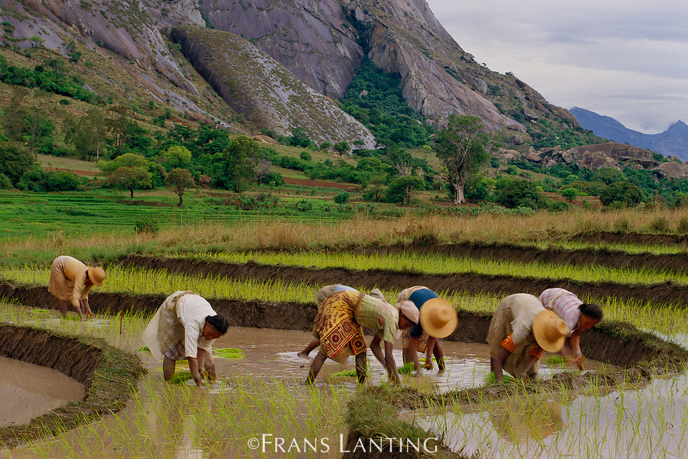 Betsileo women planting rice, Central Madagascar
