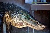 SC Alligator Hunting