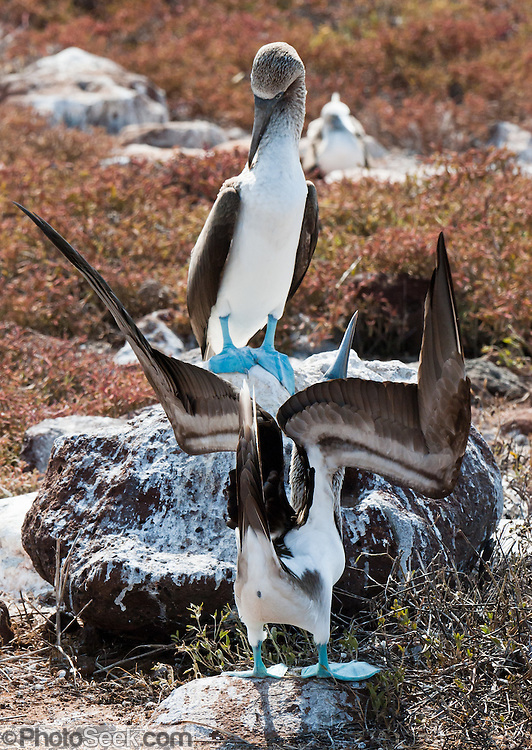 "A Blue-footed Booby (Sula nebouxii) pair does a sky pointing mating dance on North Seymour Island, part of the Galápagos archipelago, a province of Ecuador 972 km offshore west of the continent of South America. The Sulidae family comprises ten species of long-winged seabirds. The name ""booby"" comes from the Spanish term bobo, which means ""stupid"" or ""fool/clown,"" which describes its clumsy nature on land. Like other seabirds, they can be very tame. Blue-footed Boobies breed in tropical and subtropical islands of the Pacific Ocean."
