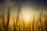 Close-up of a barley field in backlight - texturized photograph