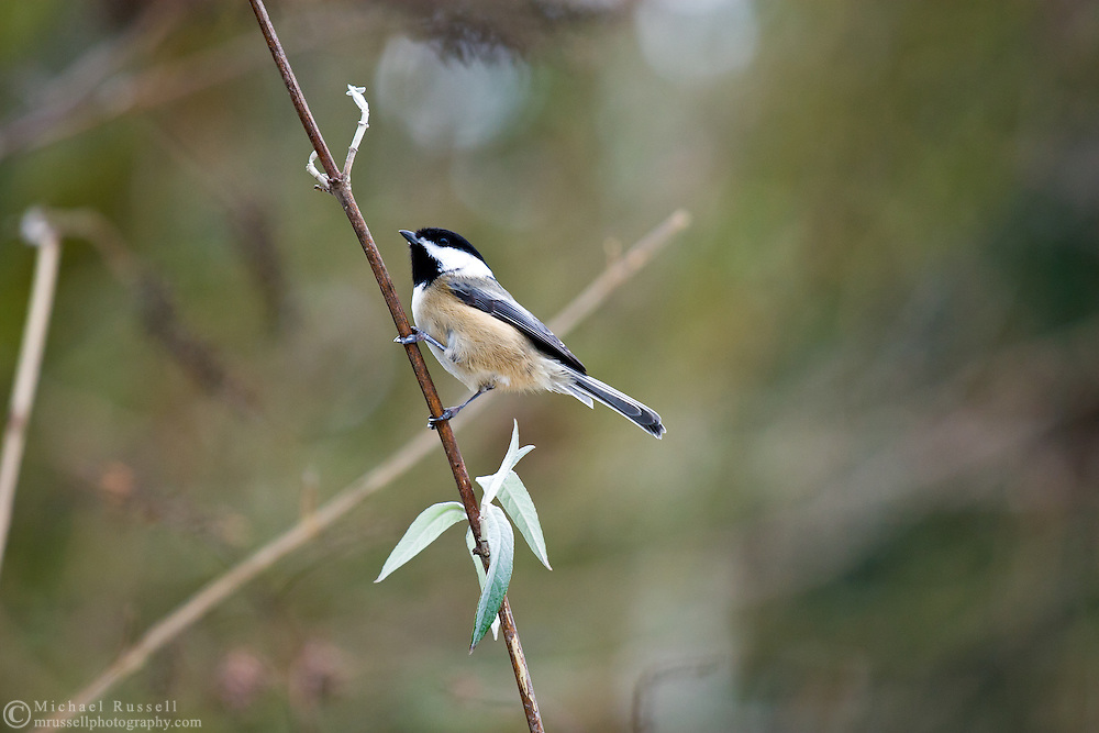 Black-capped Chickadee (Poecile atricapillus) on a branch in British Columbia, Canada