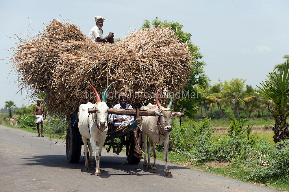 Bullock cart transporting harvested paddy.