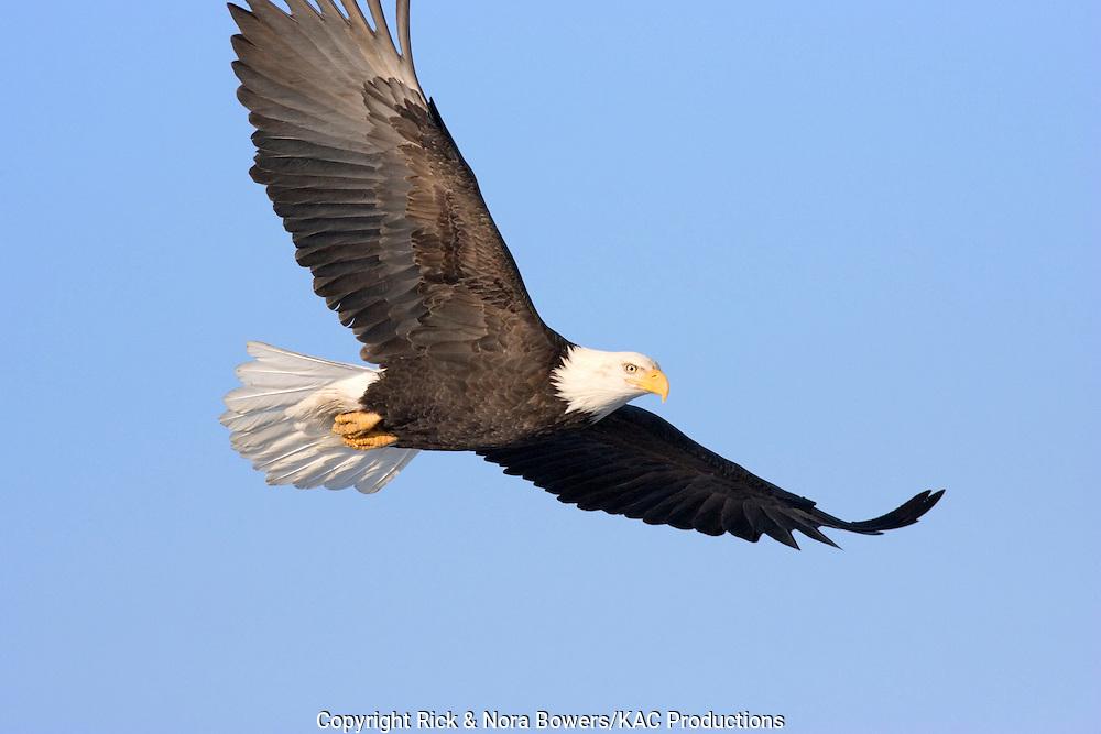 Bald Eagle .Haliaeetus leucocephalus.Homer, ALASKA, USA.February     Adult      Accipitridae