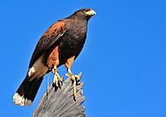A beautiful Harris' Hawk