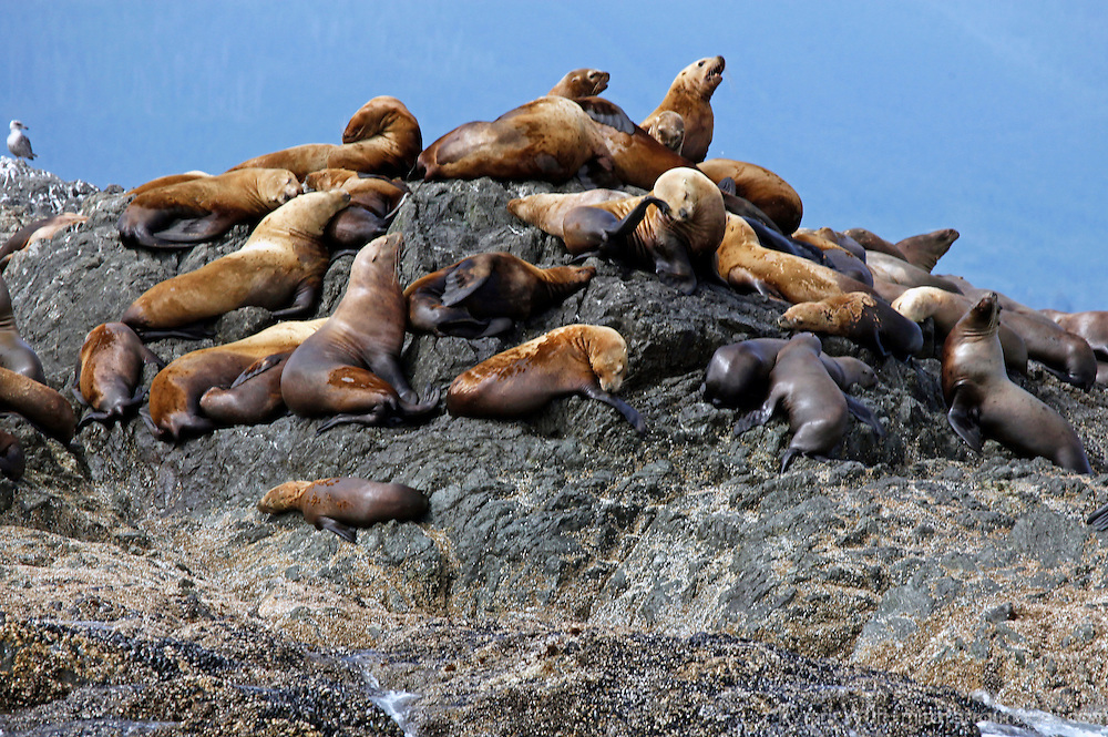 North America, Canada, British Columbia, Vancouver Island. A colony of Stellar Sea Lions in the Broken Group Islands.