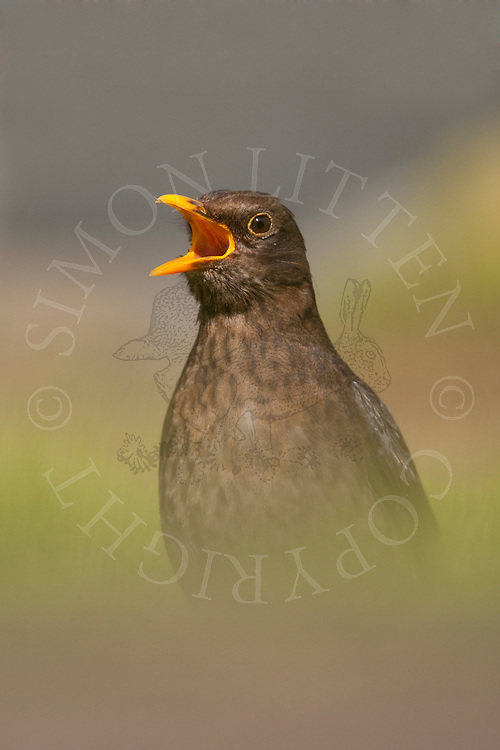 European Blackbird (Turdus merula) adult female calling, UK