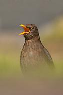 European Blackbird (Turdus merula) adult female calling, UK