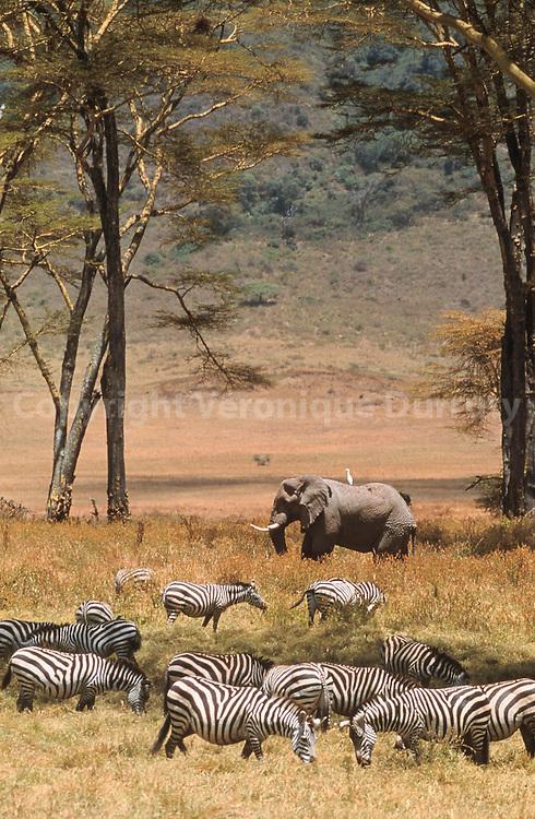 ZEBRES ET ELEPHANT MALE, PARC NATIONAL NGORONGORO, TANZANIE